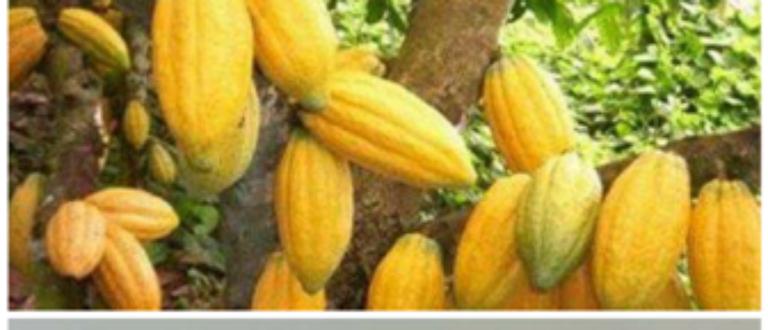Article : Maneky groupe, du cacao au chocolat »made in Côte d'Ivoire»